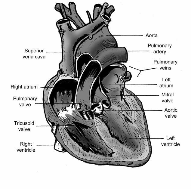 illustration captain wonder : cow heart diagram - findchart.co